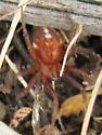 Roaming red spider - Asagena fulva