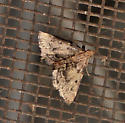 Unidentified moth - Pyralis manihotalis