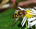 Flower Fly, Syrphus?