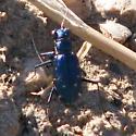 Blue chihuahaue - Cicindelidia punctulata