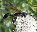 black wasp - Isodontia