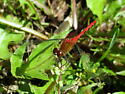 Sympetrum obtrusum - male