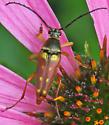 Typocerus velutinus or deceptus - Typocerus