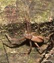Spider ID Request - Philodromus