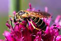 Bee 8807 - Halictus farinosus