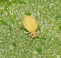 Springtail ? - Deuterosminthurus