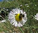 unkn bee or fly 2 - Anthidiellum ehrhorni