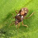 Hebridae - Hebrus