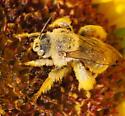 Hairy Bee - Diadasia enavata