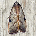 The Wedgeling Moth - Hodges #9688 - Galgula partita - male
