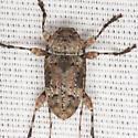 Leptostylopsis planidorsus (LeConte) - Leptostylopsis planidorsus