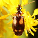 Beetle on goldenrod - Lebia ornata
