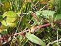 Caterpillar - Acronicta oblinita