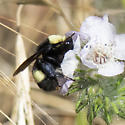 Crotch's Bumble Bee on Caterpillar Phacelia - Bombus crotchii - female