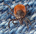 Deer Tick - Ixodes scapularis - female