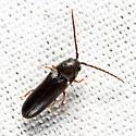 Eucnemidae - Microrhagus subsinuatus