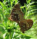 Greater Fritillary species? - Speyeria cybele - male - female