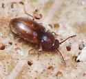 Lizard Beetles - Cryptophilus seriatus