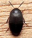 Beetle  - Eustrophopsis bicolor