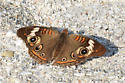 Highly Patterned Butterfly on Siesta Key - Junonia coenia