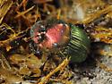 Rainbow Scarab - Phanaeus - female