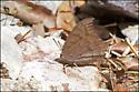 Tropical Leafwing or Goatweed? - Anaea andria