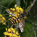 Syrphid Fly - Myathropa florea - female