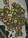 6012112 Sawflies - Macremphytus tarsatus