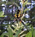 Michigan Spider (Orb Weaver?)
