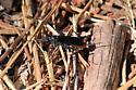 Ichneumon Wasp_2 - Cryptus albitarsis