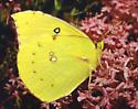 California Dogface Butterfly, Colias eurydice - Zerene eurydice - male