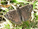 Is this a duskywing? - Erynnis juvenalis