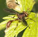 Brick red conopine - Physocephala burgessi