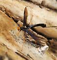 Ichneumon Wasp - Megarhyssa atrata - female