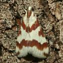 Moth - Mimoschinia rufofascialis