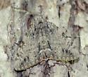 Oldwife Underwing - Catocala palaeogama