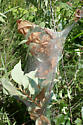 Fall Webworm Moth larval tent - Hyphantria cunea
