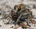 Fly eat fly: - Triorla interrupta - male