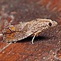 Eucosma sombreana