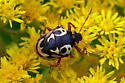 beetle or shield bug on goldenrod - Stiretrus anchorago