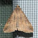 Moth - Mocis latipes