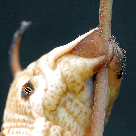 Hornworm - Agrius cingulata