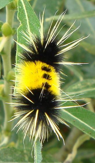 Tussock moth caterpillar? - Lophocampa maculata