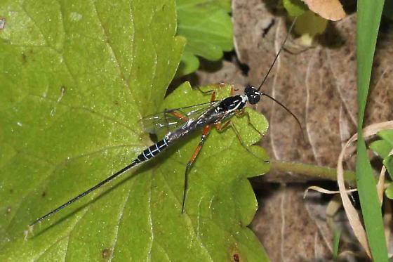 ?Icneumonid wasp - Podoschistus vittifrons - female
