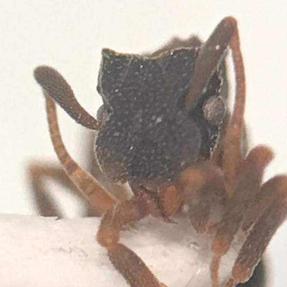 Cyphomyrmex rimosus - female