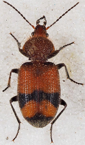Panagaeus fasciatus