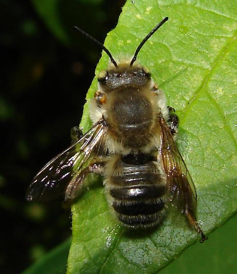 Bee - Megachile - male