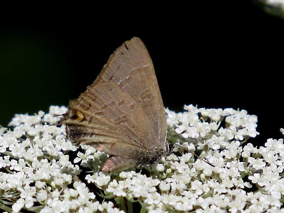Hairstreak?? - Satyrium calanus