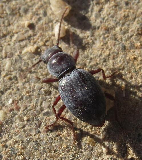 Darkling Beetle? - Triorophus