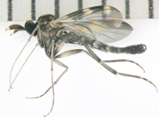 Keroplatidae, predatory fungus gnat, lateral - Heteropterna cressoni - male